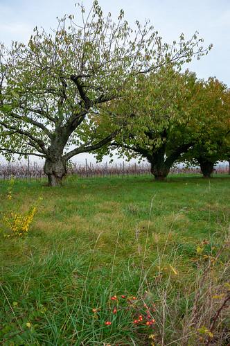 Cerisiers (Traenheim, France)-112