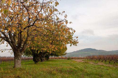 Cerisiers (Traenheim, France)-104