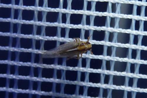 welche Zikade ist das?