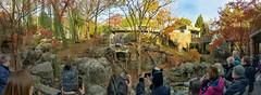 Pampered panda panorama