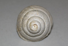 Campeloma nebrascensis (fossil snail) (Fort Union Formation, Paleocene; Olive, Powder River County, Montana, USA) 2