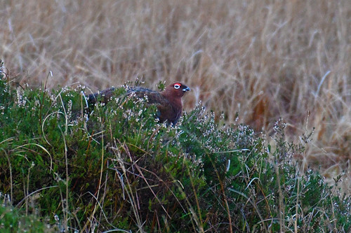 Irish Red Grouse  (Lagopus lagopus hibernicus)