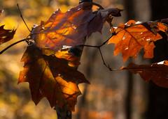 Sun-Illuminated Leaves