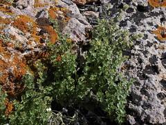 flowery bedstraw, Galium multiflorum, male plant