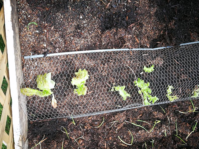 lettuce planting in Front lawn 5 rima by shiny