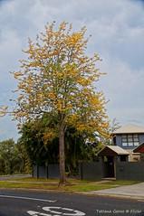 Street tree - Silky oak
