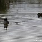 Aves en las lagunas de La Guardia (Toledo) 17-11-2019