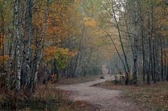 Березовая тропа / Birch trail