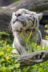 White tigress enjoying the sun