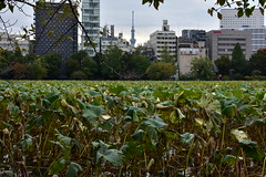Ueno Park, lotus flowers (cityscape with Skytree)