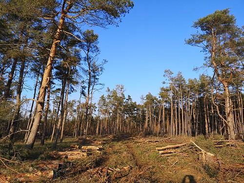 Der Wald wird aufgeräumt. Alle verdorrten, abgestorbenen Bäume kommen raus. Der ehemals dichte Wald ist arg gelichtet. Aber nun kann man wieder gefahrlos durchlaufen.