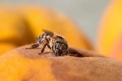 Honigbiene isst Furchfleisch eines verdorbenen Pfirsichs