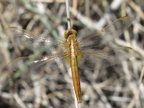 Crocothemis erythraea female (Broad Scarlet)