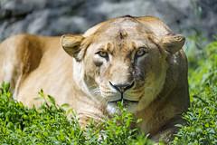 Crouching lioness...