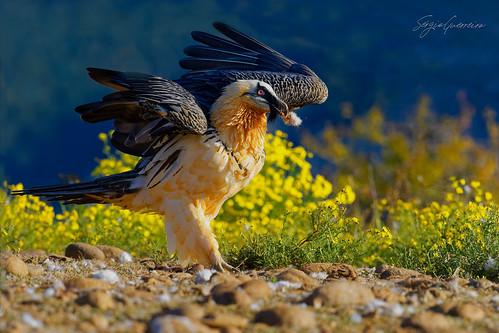 Quebra-ossos / Lammergeier / (Gypaetus barbatus)