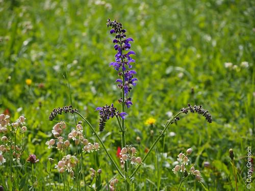 Wiesensalbei, Sauge des prés (Salvia pratensis) unweit von Vicosoprano (Bergell, Graubünden) (10/09/2019 -12)