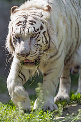 Male white tiger walking, concentrated...