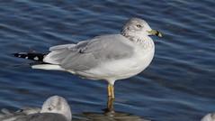 Ring-billed Gull, Hudson Beach