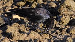 Fish Crow- Hudson Beach