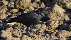 Fish Crow (immature), Hudson Beach