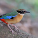 Blue-winged Pitta (Pitta moluccensis) 马来八色鸫