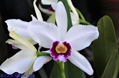 Cattleya purpurata (Laelia purpurata) - 2019