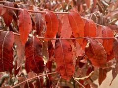Sumac leaves! Red Rock State Park, near Sedona