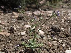 Nevada gilia, Gilia brecciarum subsp. brecciarum
