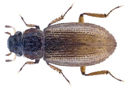 Ochthebius serratus Rosenhauer, 1856