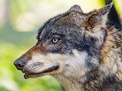 Close profile of a wolf