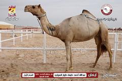 الصور .. منافسات مهرجان قطر الخامس عشر للأصايل (أشواط المعاشير وحيل وعشاير) مساء 20-11-2019