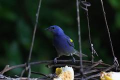 Sanhaço-de-encontro-amarelo (Thraupis ornata)