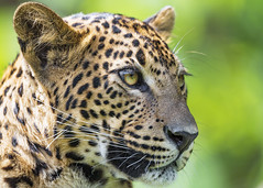 Close portrait of a pretty leopard