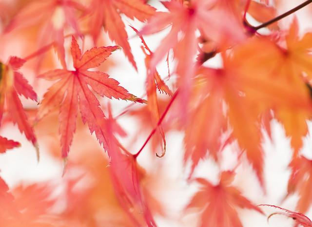 Photo:IMGP7400 Acer palmatum, outono By Rafael Ojea