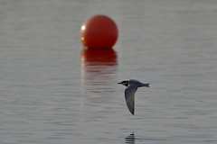 Whiskered Tern and Buoy