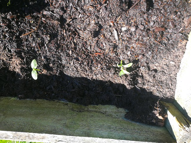 cucumber planting in Front lawn 4 wha by shiny