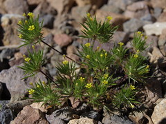yellow pincushion plant, Navarretia breweri