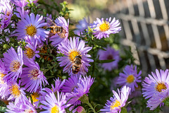 Bees pollinate purple flowers