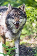 Last wolf picture