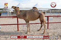 الصور .. منافسات مهرجان قطر الخامس عشر للأصايل (أشواط الثنايا) صباح 21-11-2019