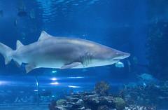 Sand Tiger Shark in Tropicarium Budapest
