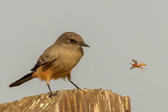 Say's Phoebe ready to grab a snack