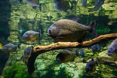 Piranha fishes in Tropicarium Budapest