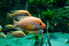Midas cichlid fish in Tropicarium Budapest