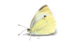 Cabbage White - ♀