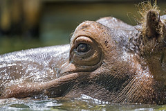 Close portrait of a hippopotamus