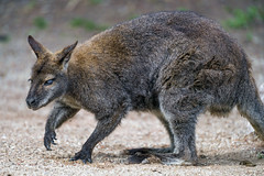 Wallaby on the sand