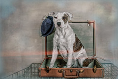 Dog in a Suitcase on Top of Dog Kennel