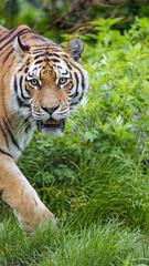 Siberian tigress walking by