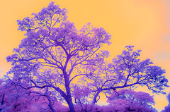 Infrared Tree | 191122-0270016-jikatu-Edit